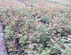 地栽月季小苗如何养壮