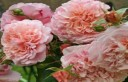 金粉丽人Rose de Tolbiac