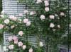 瑞典女王月季适合用来作花墙还是花篱?