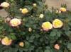 月季小苗可以直接种大盆吗