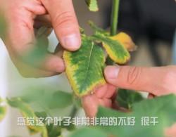 月季黄叶、分枝少、活性低是怎么回事,如何挽救?