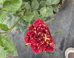 盆栽月季花的养殖方法