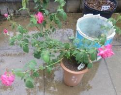 紫燕飞舞月季种植经验分享