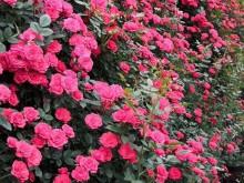 月季一年四季都开花吗