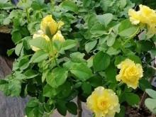 蔷薇嫁接月季能活几年