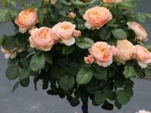 月季的花语与寓意是什么