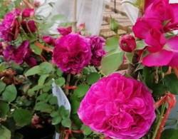 室内月季花的养殖方法