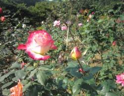 红双喜月季种植经验分享