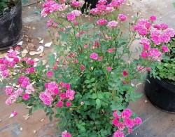 微型月季花的养殖方法