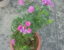 爆香紫月季种植经验分享