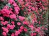 中国月季花之乡