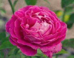 平均花径13cm以上的大花月季品种