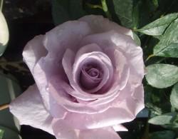 蓝丝带月季种植经验分享