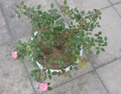多头拉边月季种植经验分享