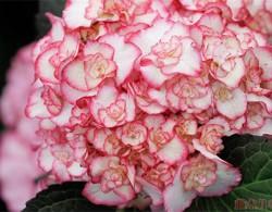 仙气满满的粉色系绣球推荐