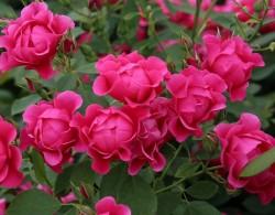 粉色森林Pink Forest Rose