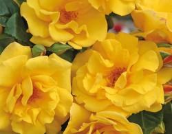 暖阳Sunshine/Syn. Stuttgardia