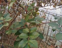 藤本月季冬季修剪枝条如何取舍?