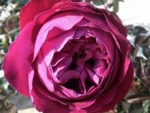 芳香花园月季和秋日胭脂有什么不同