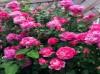 真正四季开花的十大藤本月季