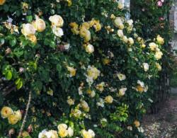 月季黄金城堡花墙应用效果欣赏