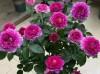 关于盆栽月季中大苗的修剪问题