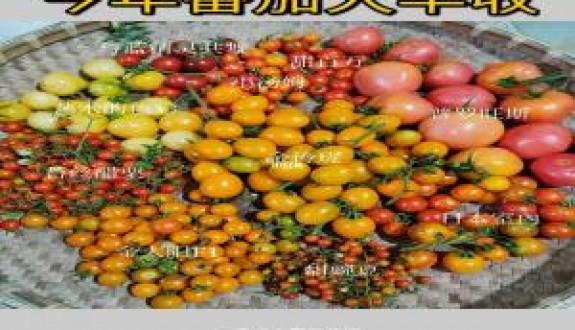 网红品种番茄种植体验+品种口味测评