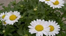 白晶菊种子什么时候播种