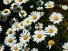大滨菊种子什么时候播种最好